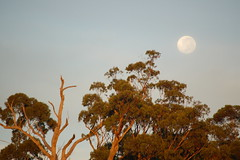 The setting Moon (John Panneman Photography) Tags: trees moon sunrise d50 nikon australia nsw springfield setting ulladulla shoalhaven