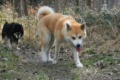 like a pack of wolves (Samurai-Akita) Tags: dog cute male dogs female forest walking japanese off leash finnish lappie akita loyal inu obedient finnischer lapphund lapinkoira