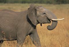 A love of life! (Rainbirder) Tags: kenya ngc npc masaimara maasaimara loxodontaafricana africansavannahelephant rainbirder