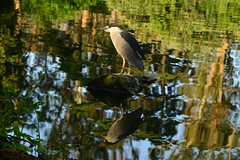 Black-crowned Night Heron (Lorcan Keating) Tags: