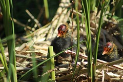 Chicks Amongst the Reeds - 87/365 (Tim Whitcombe) Tags: baby bird london nature canal nest chicks rotherhithe coot