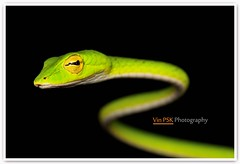 Malayan Green Whip Snake (Vin PSK) Tags: green nature closeup snake wildlife malayangreenwhipsnake