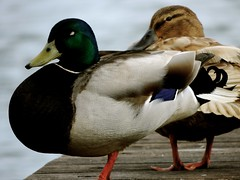 Not listening (dawnmagee) Tags: nature birds duck lough wildlife jetty pair mallard ni antrim