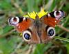 Peacock (Crazybittern1) Tags: butterflies rspb leightonmoss paecock sigma70300mmmacro nikond7000