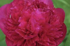 _IAW2619 (IanAWood) Tags: peony manualfocus hertfordshire rickmansworth d300 flowermacros flowercloseups flowersofspring walkingwithmynikon nikkormicropce85mmf28d
