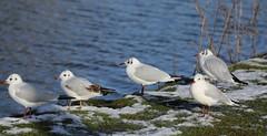 It's A Bit Nippy Today (Tes B I) Tags: bird birds gulls