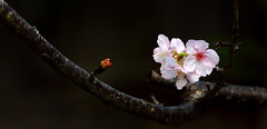 VF192A01NN (HL's Photo) Tags: plant flower macro nature canon blossom sakura   sys blooming