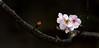 VF192A01NN (HL's Photo) Tags: plant flower macro nature canon blossom sakura 花 植物 sys blooming 櫻花 寒櫻 河津櫻