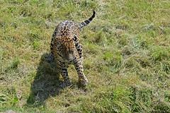 Jaguar Napo im Chester Zoo (Ulli J.) Tags: uk greatbritain england zoo cheshire unitedkingdom chester angleterre jaguar engeland royaumeuni grandebretagne northwestengland storbritannien vereinigtesknigreich grootbrittanni verenigdkoninkrijk grosbritannien
