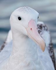 Wandering Albatross - New Zealand (Geoff Malosh) Tags: newzealand adult gibsons kaikoura wandering albatross wanderingalbatross antipodeanalbatross