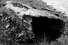 Fort Baker 9 (Casey Lombardo) Tags: sanfrancisco california blackandwhite bw rot nature northerncalifornia bay harbor sfo marin driftwood bayarea marincounty norcal rottingwood fortbaker hollowlog decomposing decomposure