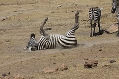 Zebra Dust Bath