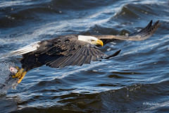 American Bald Eagle Fishing, LeClaire, Iowa  [0552] (cl.lin) Tags: nature fishing nikon eagle wildlife iowa mississippiriver birdsinflight americanbaldeagle birdinflight leclaire lockdam14 ld14 lockanddamno14