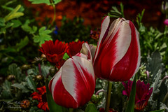 Red and White Ruffle Tulips (bcr160) Tags: flowers red white macro green nikon background micro tulip 60mm nikkor 60 ruffle acers d7100 kl0 bcr160