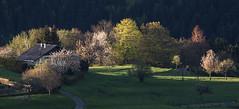 Composition printanire (mrieffly) Tags: canoneos50d arbresenfleur geishouse vosgesalsace 100400issriel printemps2016