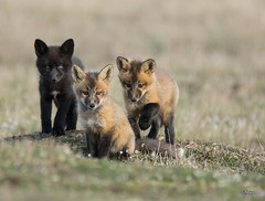 Three's Company (T0nyJ0yce) Tags: family wild baby cute animals pups sweet wildlife young adorable siblings explore fox kits cubs wildflowers trio triplets mammals foxes silverfox redfox vulpesvulpes foxden specanimal