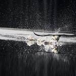 kuikka Black-throated loon Gavia arctica thumbnail
