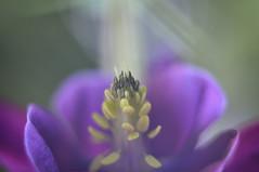for Sunday (staring @ albatross) Tags: pink light flower macro nature beautiful yellow closeup purple pistil serenity meditation sunray lightbeam