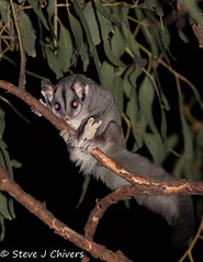 Squirrel Glider (Petaurus norfolcencis)?? or Sugar Glider (Petaurus breviceps), ACT. (Steve J Chivers) Tags: nightphotography cute animal fauna night woodland mammal grey furry nocturnal australia glider marsupial sugarglider glide petaurusbreviceps squirrelglider petaurus petaurusnorfolcencis