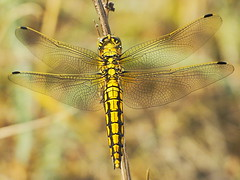 Gr Blaupfeil Orthetrum cancellatum 160523-1893 _Herrensee_SOOCx_ (Pixel-Cat) Tags: dragonfly olympus libelle omd skimmer odonata libellulidae anisoptera strausberg em5 sooc segellibellen herrensee orthtetrum mzuiko75300mmf4867ii blaufpeil