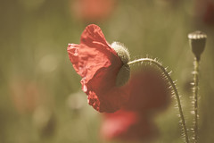 Dans mes souvenirs (S@ndrine Nel) Tags: rouge poppy poppies coquelicot nelsandrine