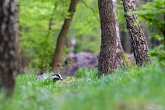 The striped (lookashG) Tags: las trees panorama tree nature animal animals fauna forest spring wildlife natura mammals animalia mammalia springtime 300mmf28 wiosna drzewa zwierzta melesmeles ssaki vernalseason borsuk portretrodowiskowy treecrowns bokehrama europeanbadger bokehpanorama brenizermethod lookashggmailcom portraitofenvironmental ukaszgwidziel sonyilca77m2 jawiec