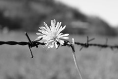 freedom... (patoche 38) Tags: blackandwhite flower fleur liberty freedom noiretblanc flor poetic libert barbedwire barbed barbel