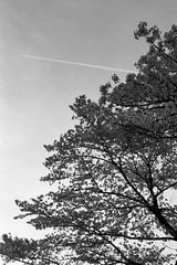 201604-05 (GenJapan1986) Tags: blackandwhite film japan spring university   cherryblossoms  miyagi  tohokuuniversity  ilfordhp5plus 2016      nikonnewfm2