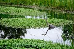 Great Blue Times Two (brev99) Tags: reflection green bird pond ngc velvia marsh greatblueheron d7100 tamron70300vc highqualityanimals dxofilmpack5