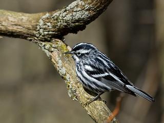 Paruline noire et blanc / Black-and-white warbler