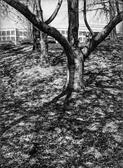 Arc (robert schneider (rolopix)) Tags: trees blackandwhite bw film monochrome 35mm ga georgia shadows geometry parati apx100 limbs halfframe agfa expired arcs urbanlandscape outdated alpharetta outofdate parat robertschneider autaut nowhereanywhere bwfp believeinfilm rolopix