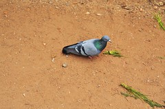 Pigeon (Smevin Paul - Thrisookaran !! www.smevin.com) Tags:  india paul photography pigeon tamil ooty nadu smevin smevins thrisookaran