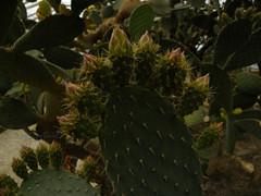 Cactus flower buds (cod_gabriel) Tags: cactus cacti dof bokeh depthoffield bulgaria greenhouse opuntia botanicalgarden sera shallowdepthoffield balchik shallowdof shallowfocus flowerbuds dobrudja balcic dobrogea cadrilater grdinabotanic muguri cactusflowerbuds dobruja balchikbotanicalgarden grdinbotanic ser gradinabotanicabalcic