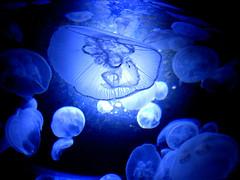 Blue jellyfish (reupload) (Frisk B) Tags: blue fish beautiful aquarium cool jellyfish awesome aquatic moonjelly