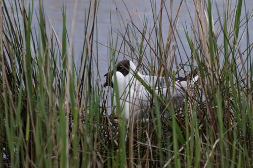 Seagull nest