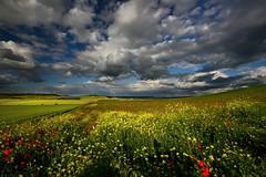 A cada paso que das.......... (T.I.T.A.) Tags: sky cielo nubes poppy poppies p palencia colza amapolas dueñas campodeamapolas dueñas2016