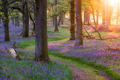 Scottish Bluebells (Tom_Drysdale) Tags: light tree green bluebells leaf spring oak fuji purple may fujifilm 2016