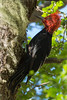 Carpintero Negro (Macho) (mths_jcb_dnnr) Tags: woodpecker carpintero campephilusmagellanicus