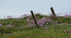 Pink thrift. (artanglerPD) Tags: pink fence wire thrift posts barbed thecliffs