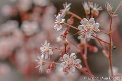 Saxifraga (Chantal van Breugel) Tags: macro clarence eliott bloemen flevoland nop saxifraga canon100mm umbrosa steenbreek espel eigentuin canon50d