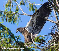 Bald Eaglet Canon 5Ds see full size (Mike Black photography) Tags: life new wild summer sky usa white black tree bird mike nature leaves animal june wall canon lens outdoors photography flying is photo big eagle body wildlife year birding bald ii raptor shore jersey monmouth l usm belmar eaglet f40 2016 600mm 5ds