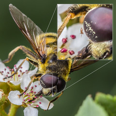 Eye spy a passenger... (markhortonphotography) Tags: macro insect surrey passenger parasite hoverfly mite deepcut surreyheath myathropaflorea markhortonphotography thatmacroguy