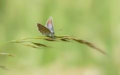 graceful like a ballerina (Deirdre MagMa) Tags: blue macro nature field closeup juni butterfly maastricht nederland natuur explore deirdre icarus veld vlinder macrolens 2016 grashalm blauwtje icarusblauwtje bosscherveld canon7dmarkii deirdremoments 12june16