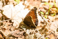 7K8A9693 (rpealit) Tags: nature butterfly river scenery mourning wildlife national cloak refuge wallkill