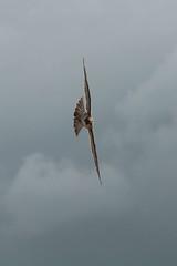 IMG_4561 (gipukan (rob gipman)) Tags: male tower female eos toren 7d kuikens slechtvalk olv langejan preybird canon24105lis tokina116
