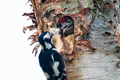 Woodpecker nest (Steve Balcombe) Tags: uk bird major woodpecker nest great somerset chick spotted levels rspb dendrocopos hamwall avalonmarshes
