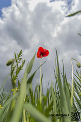 heath 23-5-16 (law-photography2014) Tags: yorkshire heath poppy poppies wakefield westyorkshire canon1740l leeward heathcommon canon6d lawphotography leewardatlawphotography