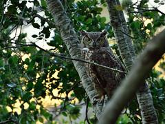 Ghost of the woods (Marc Briggs) Tags: nature woods wildlife owl greathornedowl bubovirginianus oakwoodland dsc40521aw