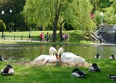Nesting Swans ((Jessica)) Tags: park green boston spring swan nest massachusetts newengland swans publicgarden swanpair nestingswans swancouple