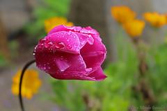Tulip (Luca Morales Guinaldo) Tags: pink flores flower drops agua gotas tulip tulipn